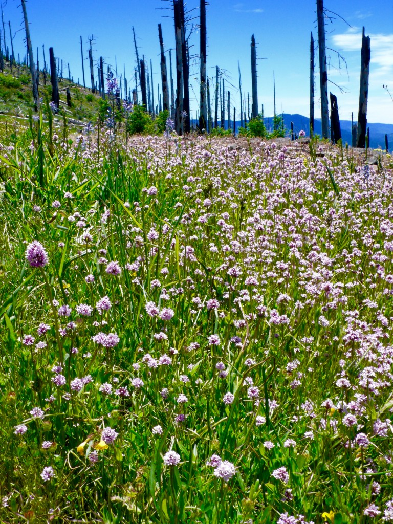 Wildfires from past years give way to Wildflowers in present years!