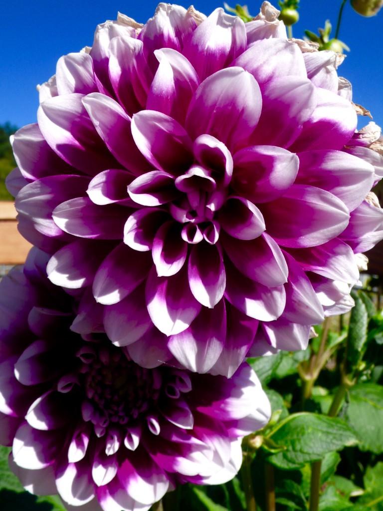 Dahlias Forever!  Karen Biondo's farm