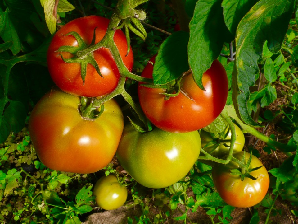 Biondo Farm tomatoes!