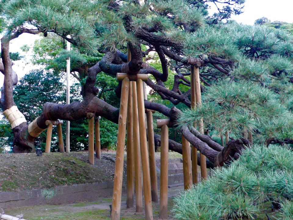 We went back to Hama Rikyu Garden and we finally found the 300 year old pine tree! How could I have missed it the first time around?  It is lovely and regal.  Its branches are held up with huge wooden supports.  I thought that a 300 year old pine tree deserves to be assisted and the supports reminded me of canes used by elderly to assist with balance.