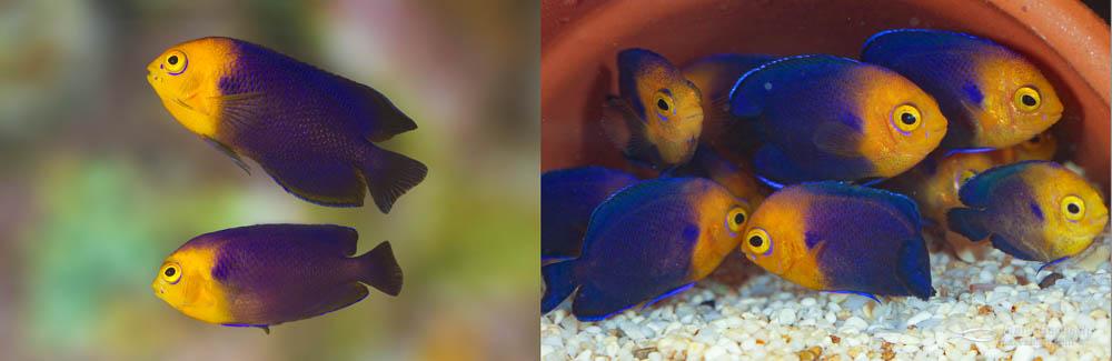 Left: A Cherubfish pair (female below male).  Right: 90-day-old juvenile Cherubfish