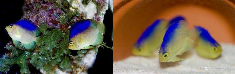 Left: A pair of Colin's Angelfish. Right: 52-day-old juvenile Colin's Angelfish.