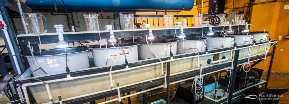 Larval rearing tanks at the Marine Biology Wetlab, Roger Williams University, Rhode Island