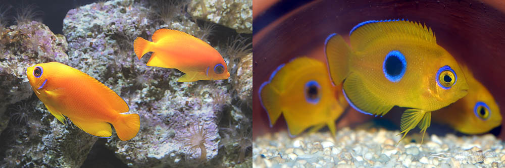 Left: A pair of Lemonpeel Angelfish (male on left).  Right: 80-day-old Lemonpeel Angelfish juveniles in hiding.