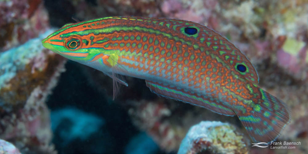 Ornate wrasse adult female on a reef in Hawaii.