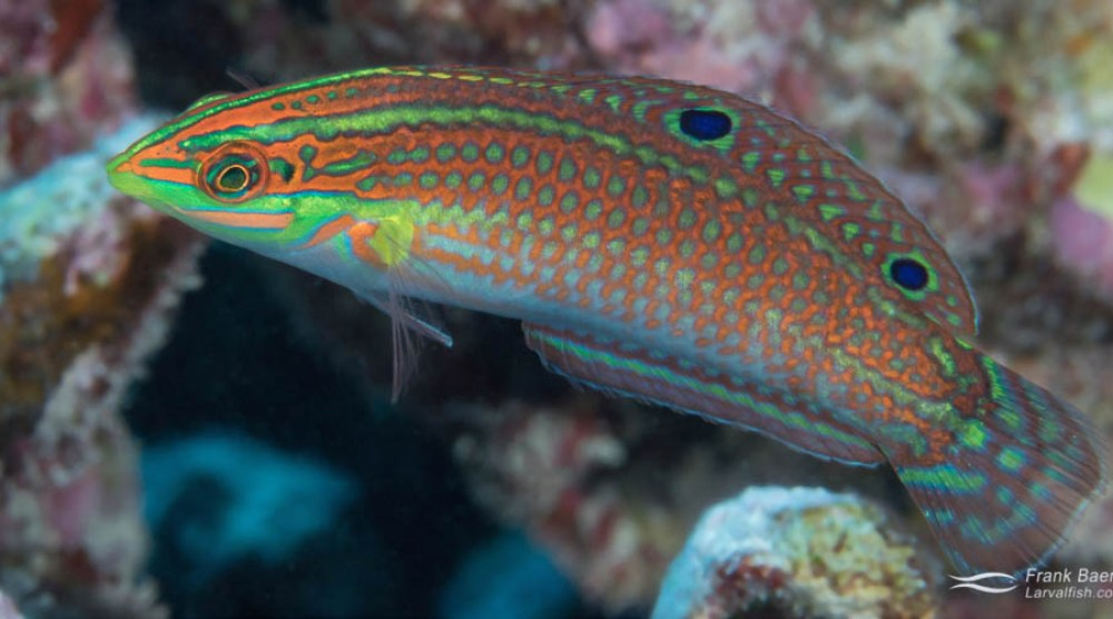 Ornate wrasse adult female on a reed in Hawaii.