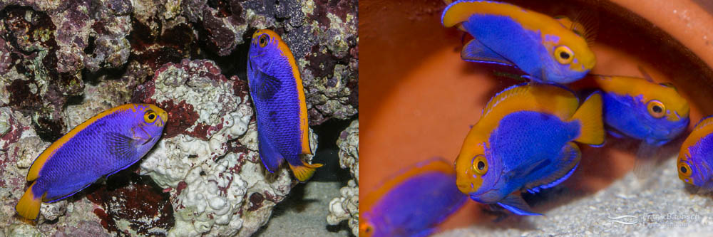 Left: A pair of Resplendent Angelfish. Right: 70-day-old juvenile Resplendent Angelfish.