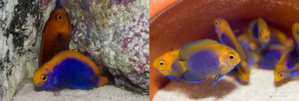 Left: A male Resplendent Angelfish and female Fisher's Angelfish pair. Right: 70-day-old juvenile Resplendent Fisher's hybrid Angelfish (just past metamorphosis)