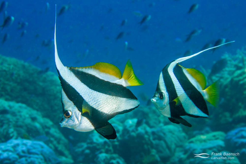 Butterflyfish Culture