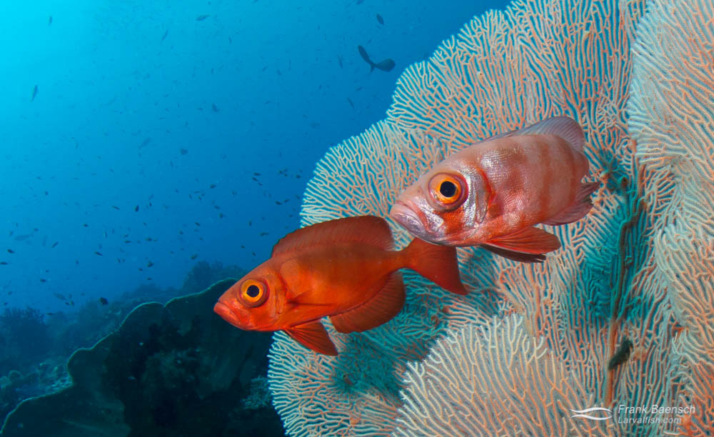 Adult Glasseyes (Heteropriacanthus cruentatus) on a reef in Indonesia.