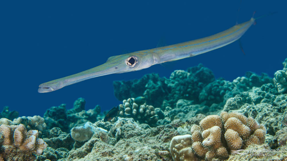 Adult Smooth Cornetfish (Fistularia commersonii) on a reef in Hawaii.