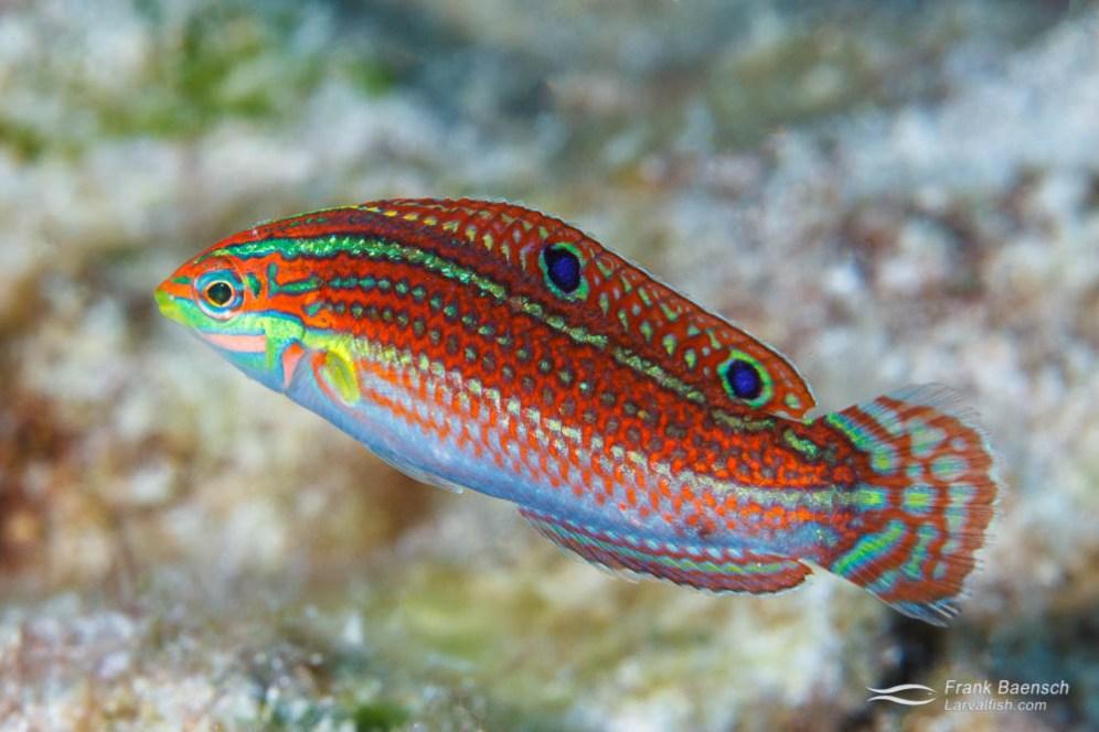 Bony Fishes: Osteichthyes, Fishes, Wrasses: Labridae, ornate wrasse: Halichoeres ornatissimus