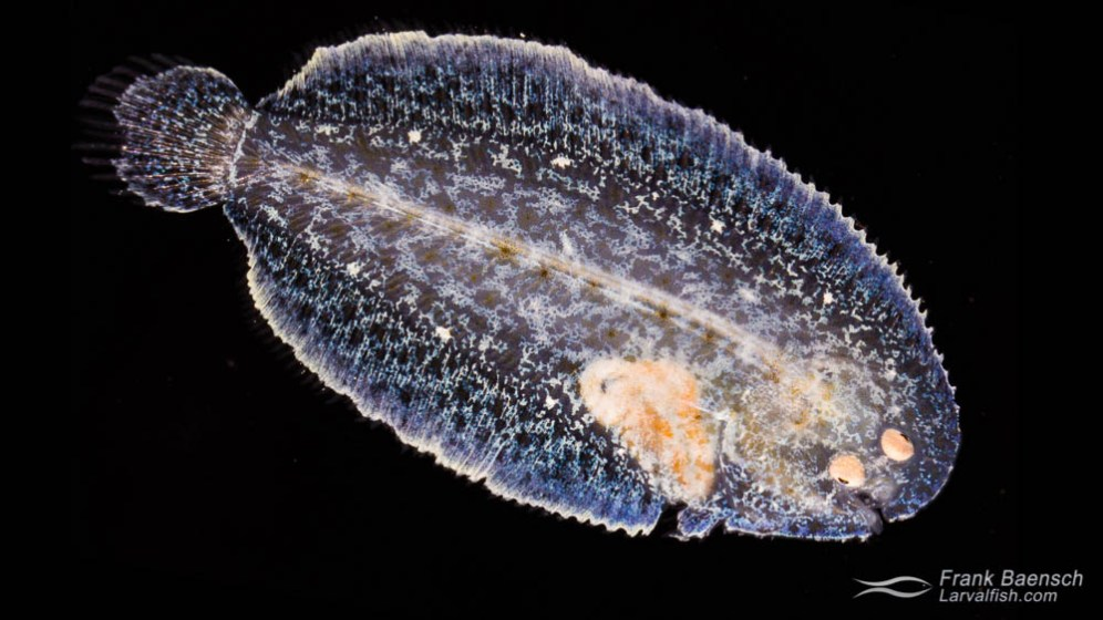 Juvenile Therese's sole (Aseraggodes therese) raised in the laboratory.
