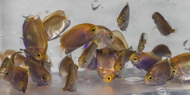 Pygmy Angelfish Breeding