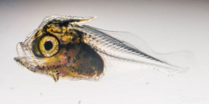Glasseye Larval Rearing