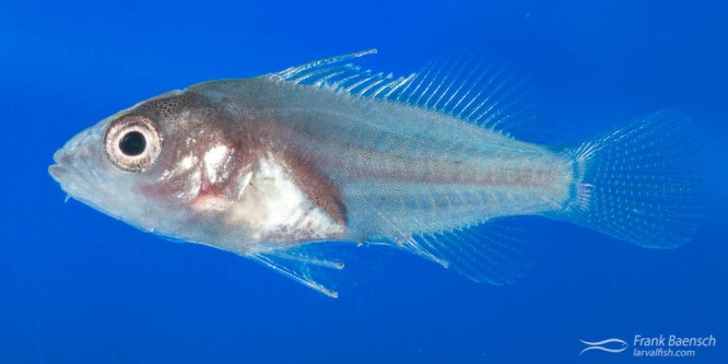 Blue-spotted Grouper Larval Rearing
