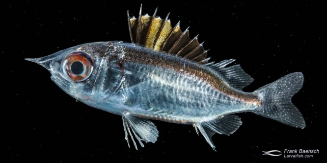 Squirrelfish Larval Rearing