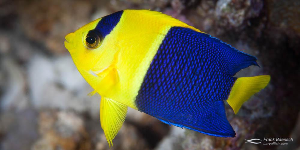 Bicolor angelfish (Centropyge bicolor) juvenile.