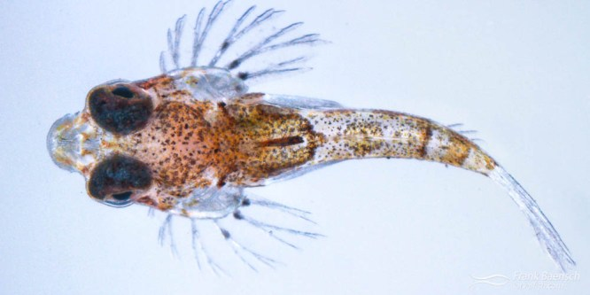 192 | specimen 192 | na | 6/19/12 | species? | 5.93  |  19 dph  | newly settled dragonet; 1st species; raised about 6 of each from this tow