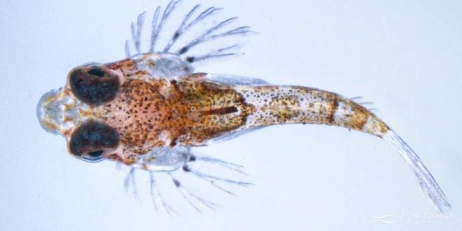 Longtail Dragonet Larval Rearing