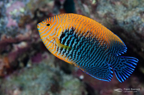 Potter's Angelfish (Centropyge potteri), a species endemic to the Hawaiian Islands.