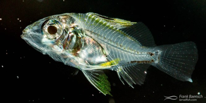 Blacktail Snapper Larval Rearing