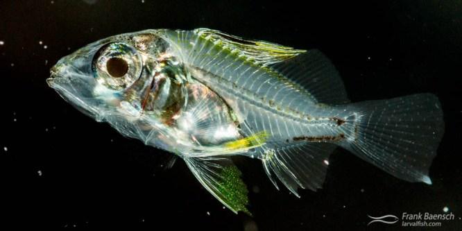 Blacktail Snapper Larval Rearing