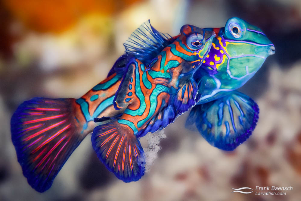 Mandarinfish (Synchiropus splendidus) releasing eggs. Mandarinfish spawn every night - sometimes several times. Lucky fish :)