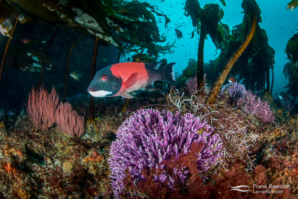 California sheephead (Semicossyphus pulcher). California.