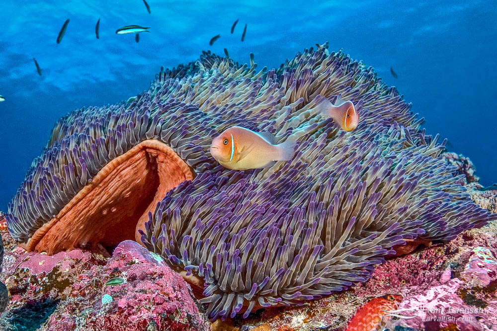 Pink skunk clownfish (Amphiprion perideraion)  inhabiting a beautiful purple-tipped anemone in Palau.