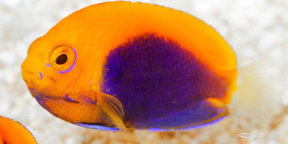 African pygmy angelfish juvenile, 190 dph.