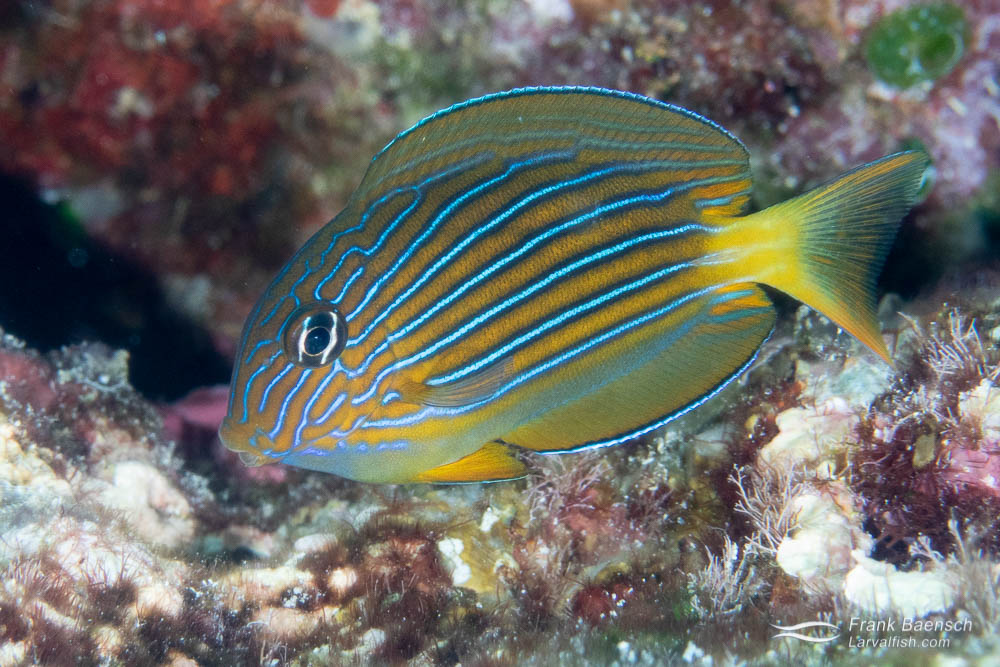 November is larval fish recruitment time in the Solomon Islands and the reefs are loaded with juvenile surgeonfish. Juvenile striped surgeonfish (Acanthurus lineatus) are especially common on open ocean reef flats in less than 3 feet of water. This is one of my favorite Acanthurids.