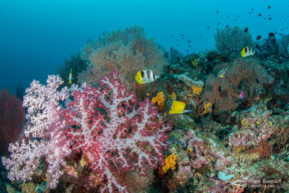 Soft coral reef scene in the Solomon Islands.