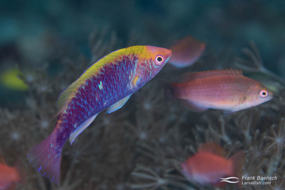 A male orangeback wrasse (Cirrhilabrus lubbocki) oversees its harem of females. Indonesia.