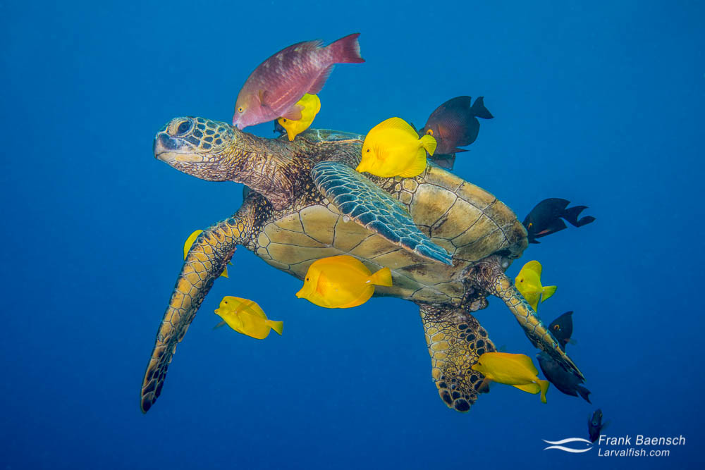 Tangs and a parrotfish remove algae growing on a green sea turtle (Chelonia mydas). Hawaii.