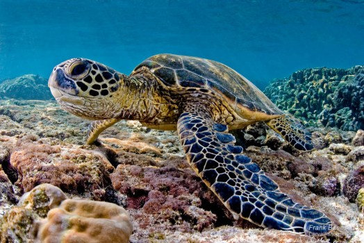 Green sea turtle feeding on algae.