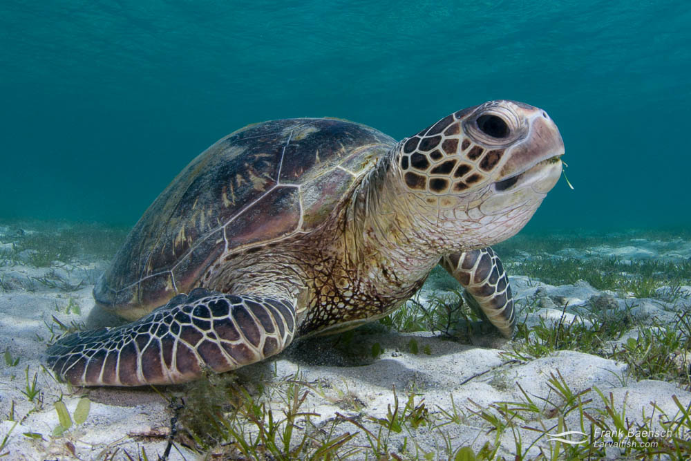 A green turtle (Chelonia mydas) feeding on a sea grass.
