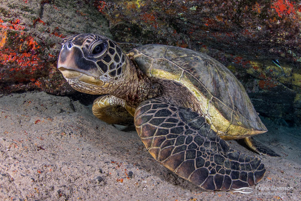 Green sea turtles can hold their breath for hours.