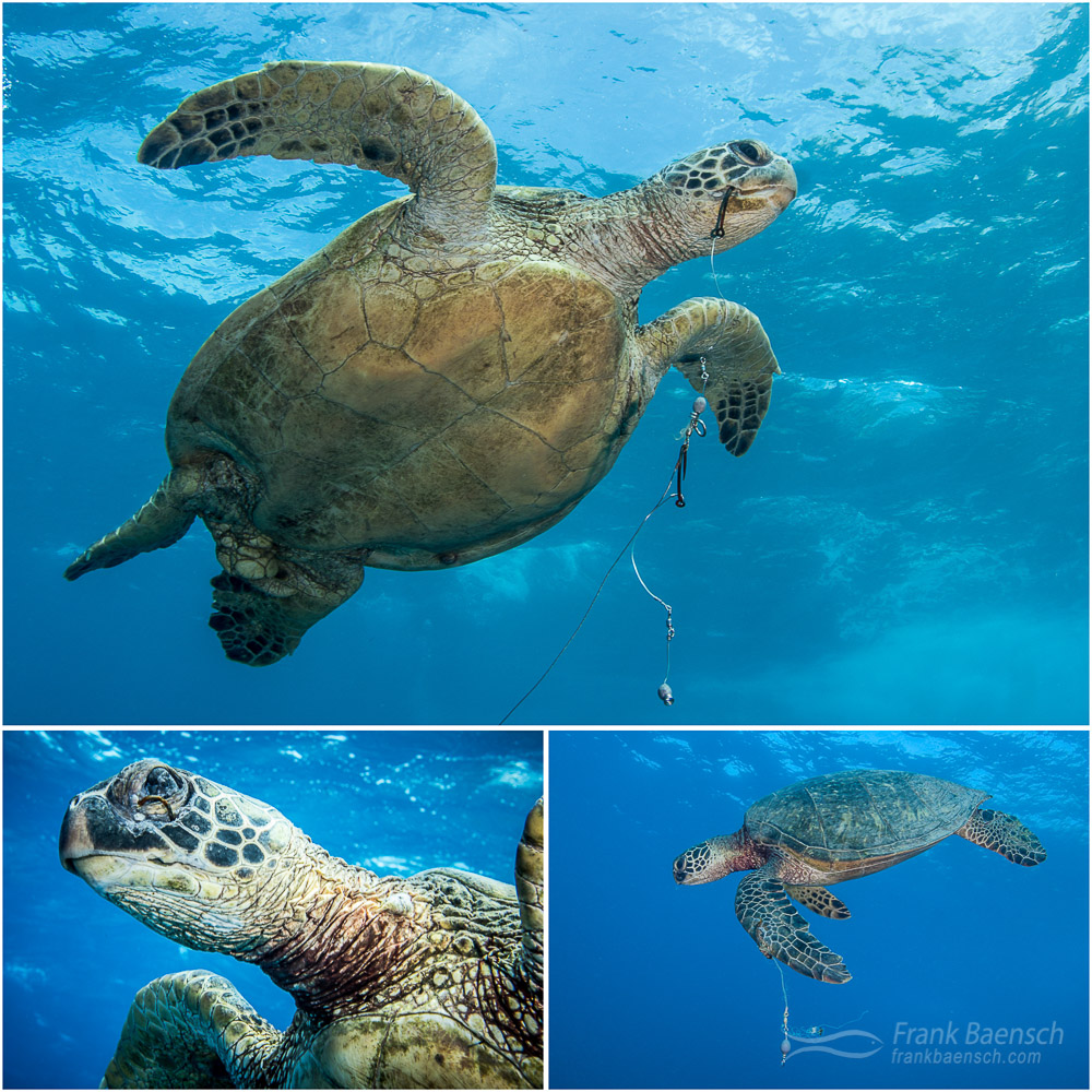 Green sea turtle with hooks in various parts of its body.