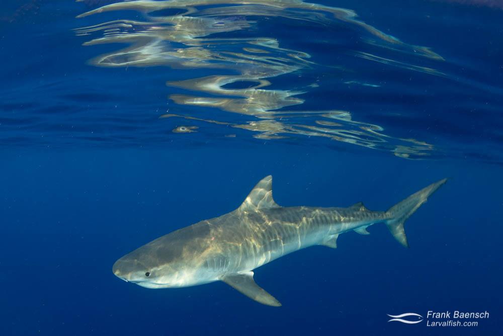 A tiger shark on the surface off Oahu, Hawaii