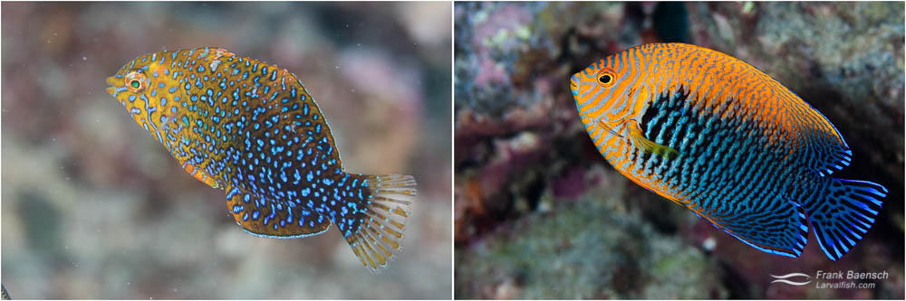 L: The Potters Wrasse mimics the Potters Angelfish – a larger, more spiny, harder to catch fish. R: Potter's Angelfish (Centropyge potteri), a species endemic to the Hawaiian Islands.