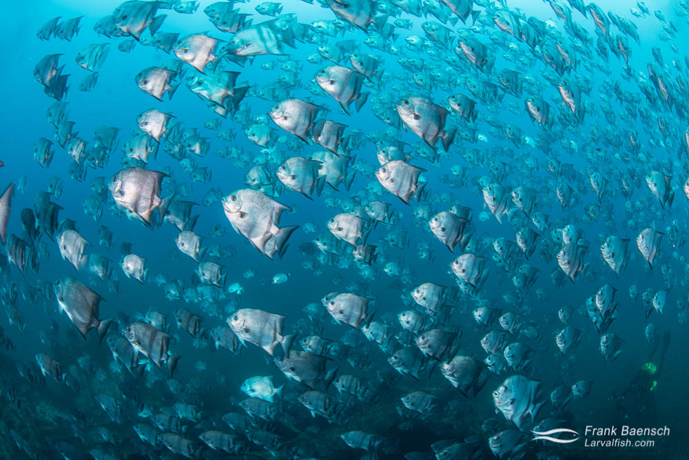 Fisheye view of a massive school of Atlantic spadefish (Chaetodipterus faber) in North Carolina.