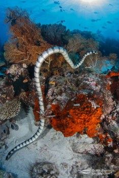 Banded sea krait (Laticauda colubrina) hunting over a bright red sponge on a reef  in Raja Ampat, Indonesia.