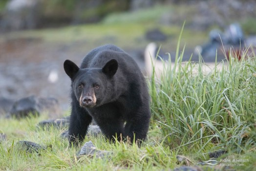A curious young black bear (Ursus americanus) near Kenai Fjords Glacier Lodge, Alaska.