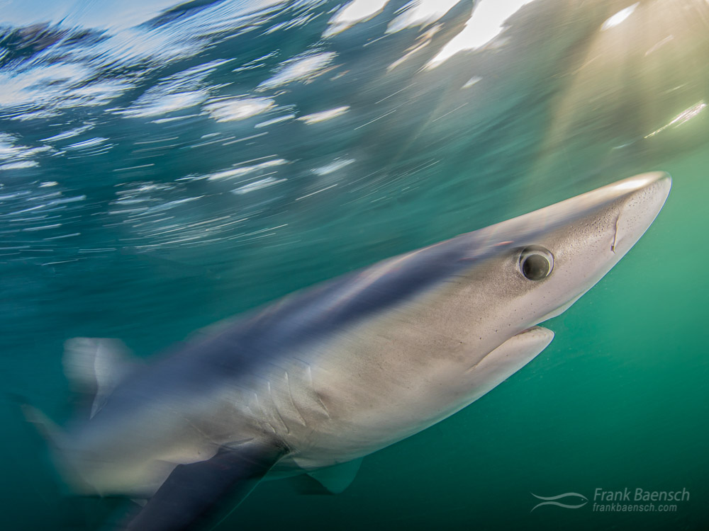 Magic hour!  Motion blur of blue shark (Prionace glauca) at twilight off New England. Rhode Island.