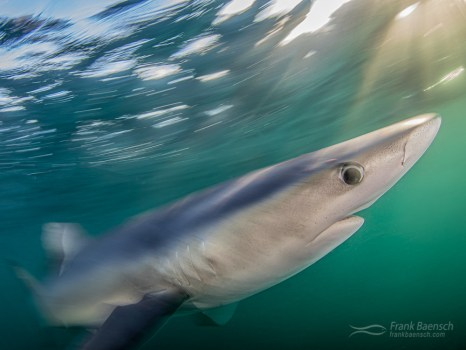 Magic hour!  Motion blur of blue shark (Prionace glauca) at twilight off New England.