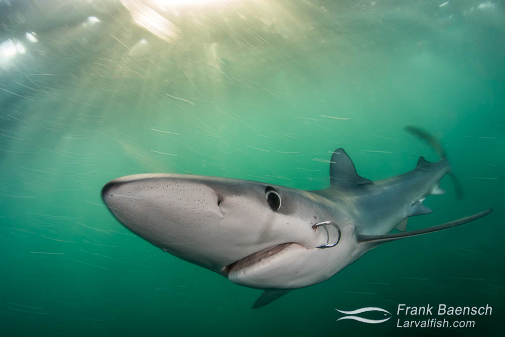 Blue shark (Prionace glauca) with fishing hook on the side of its mouth at twilight.
