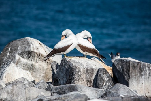 Two masked boobies (Sula Dactylatra) resting on rocks by the sea.