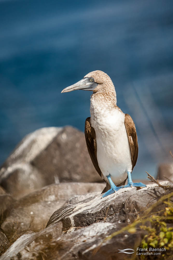 Blue-Footed booby (Sula Neboxuii). Galapagos Islands.