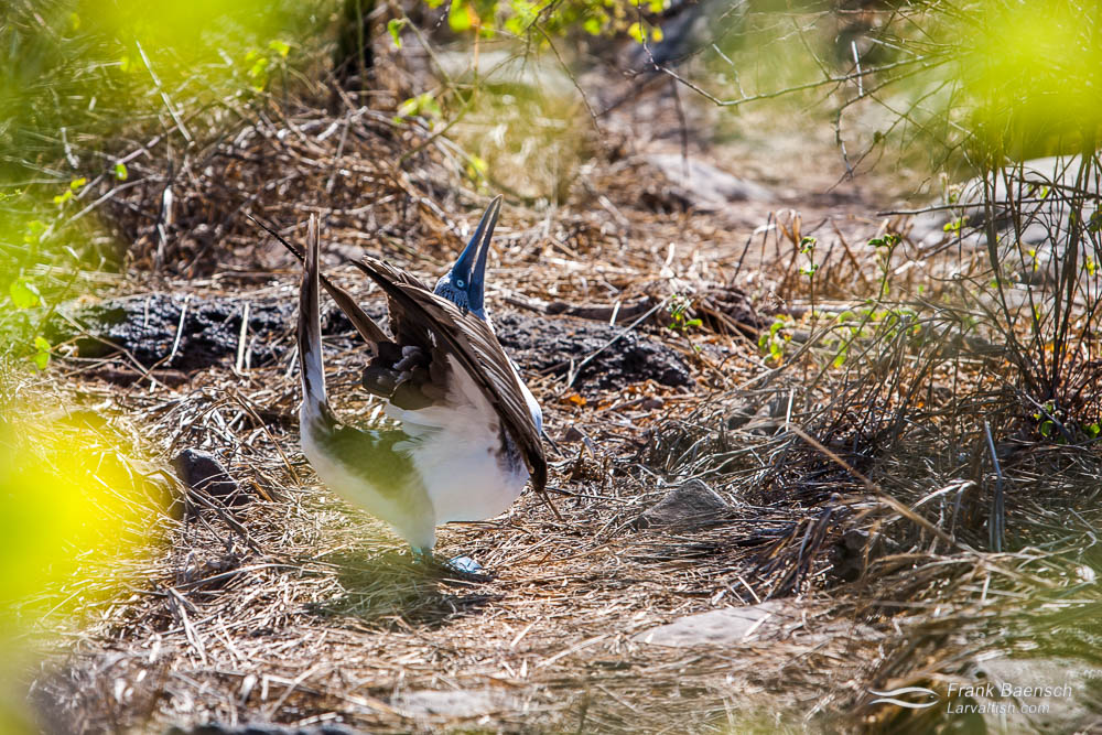 """Blue-Footed booby (Sula Neboxuii) """"dancing"""". Galapagos Islands."""